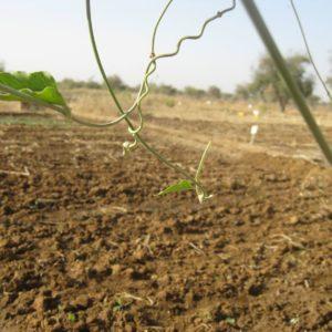 Analyse de cinq chaînes de valeur agricoles dans la région du Sahel